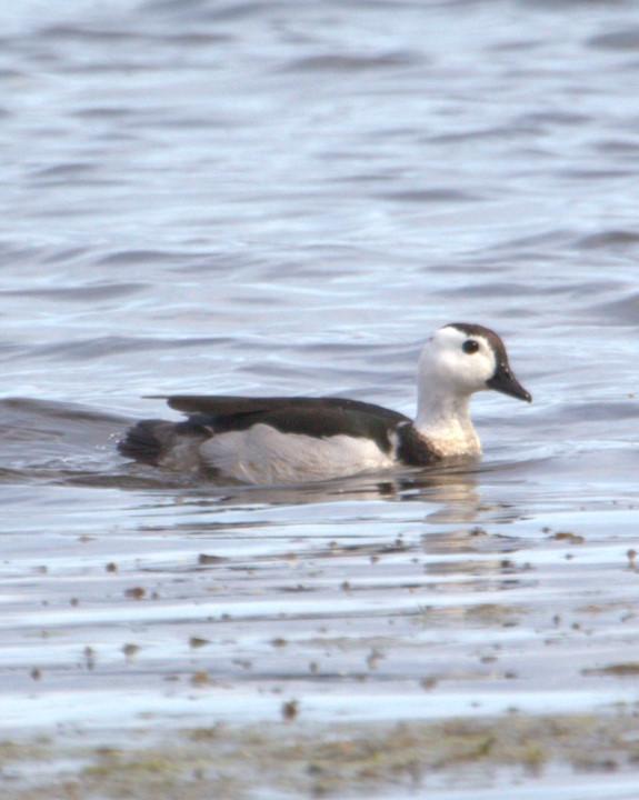 Cotton Pygmy-Goose Photo by Mat Gilfedder