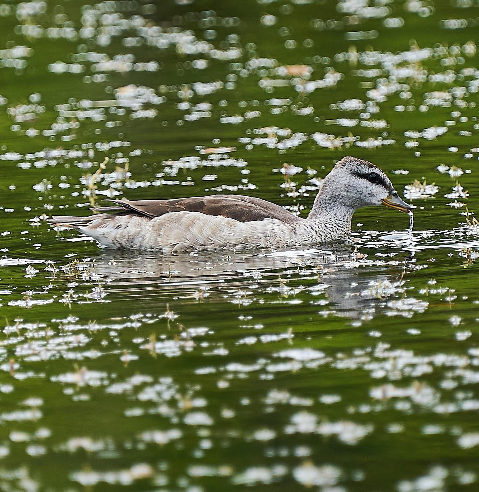 Cotton Pygmy-Goose Photo by Steven Cheong
