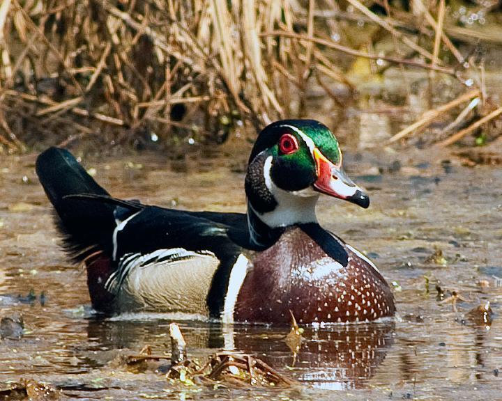 Wood Duck Photo by Jean-Pierre LaBrèche