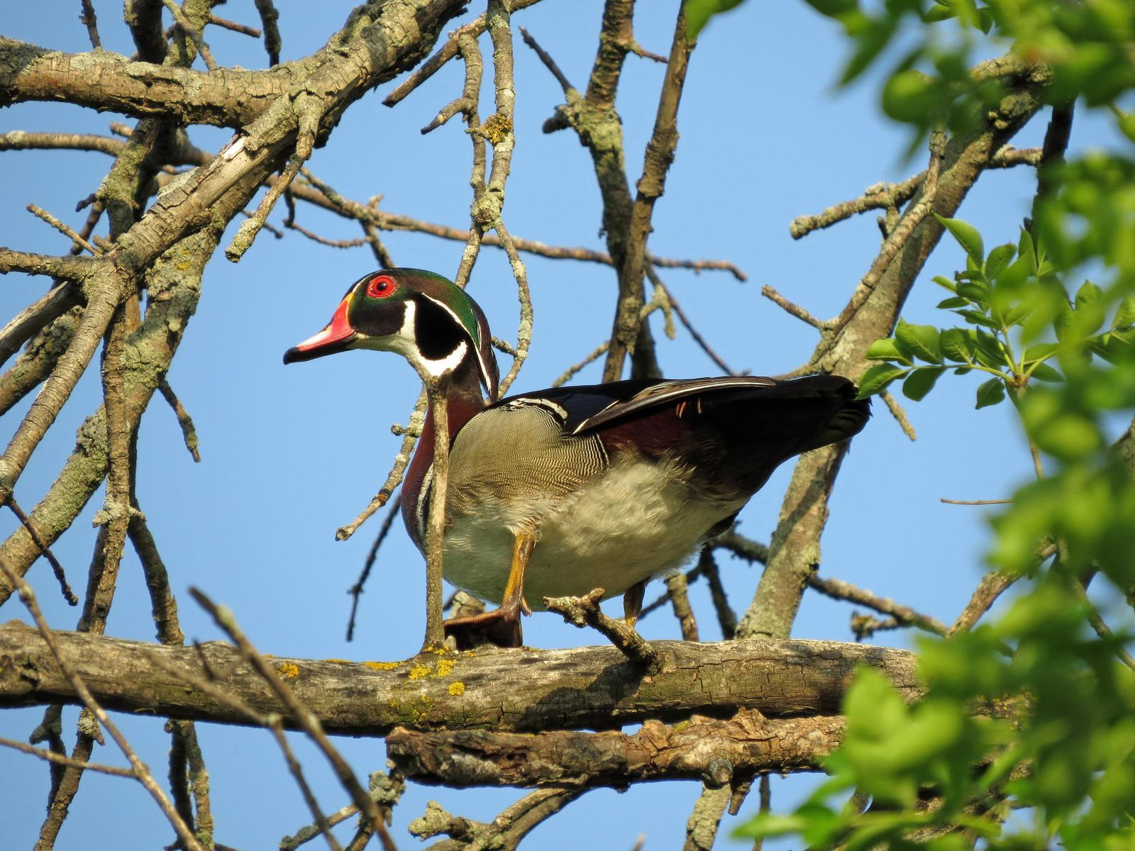 Wood Duck Photo by Kelly Preheim