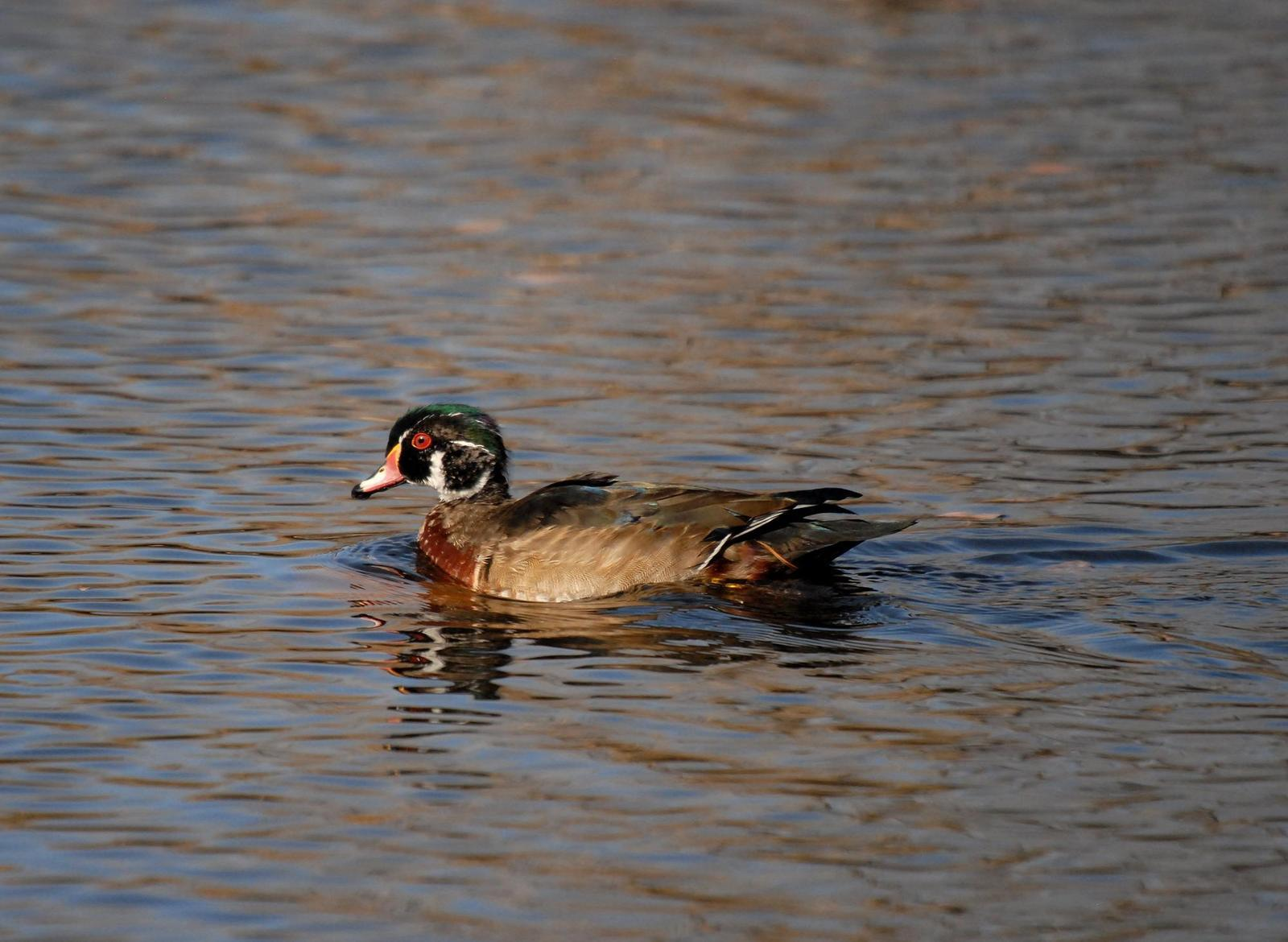 Wood Duck Photo by Steven Mlodinow