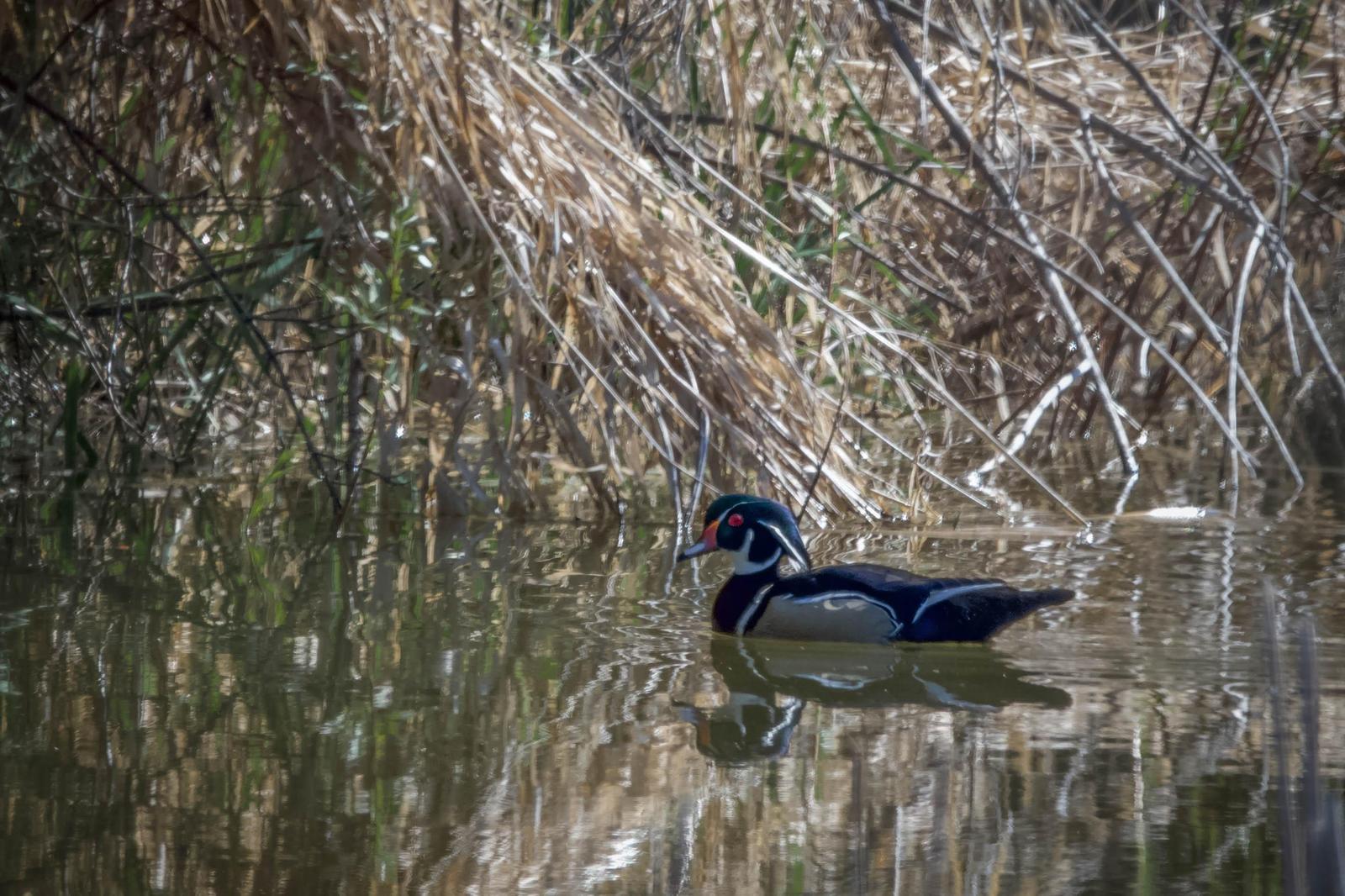 Wood Duck Photo by Scott Yerges