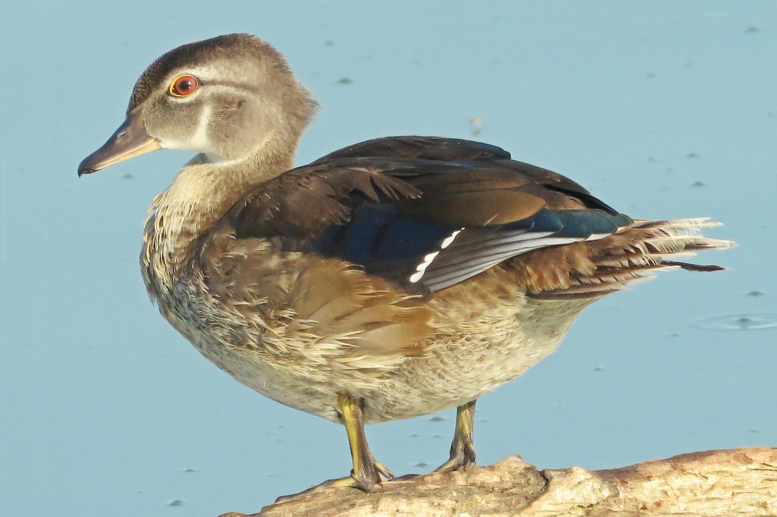Wood Duck Photo by Bob Neugebauer