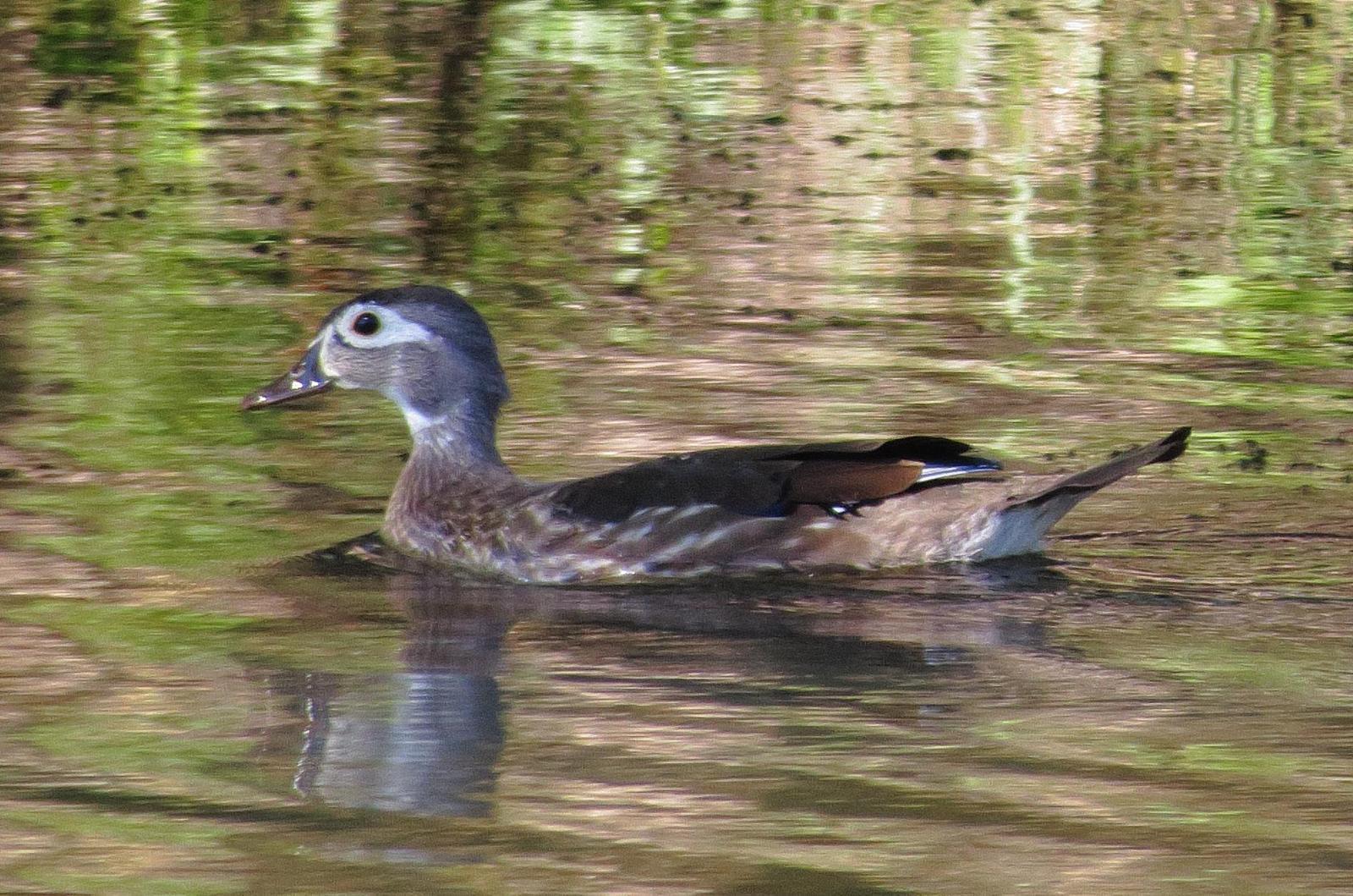 Wood Duck Photo by Kent Jensen