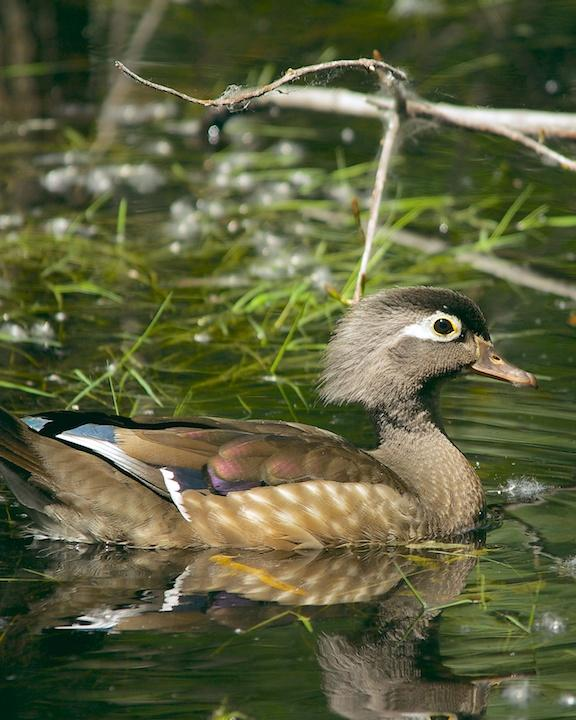 Wood Duck Photo by Denis Rivard