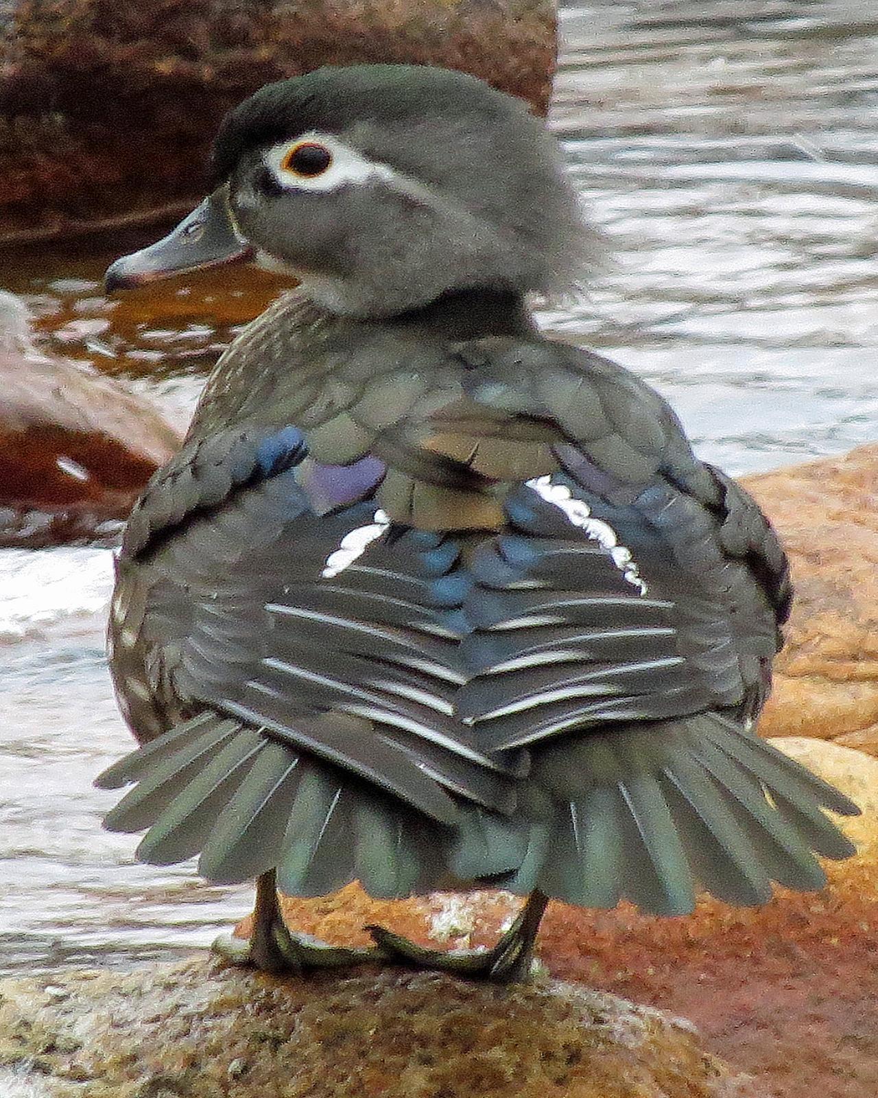 Wood Duck Photo by Kelly Preheim