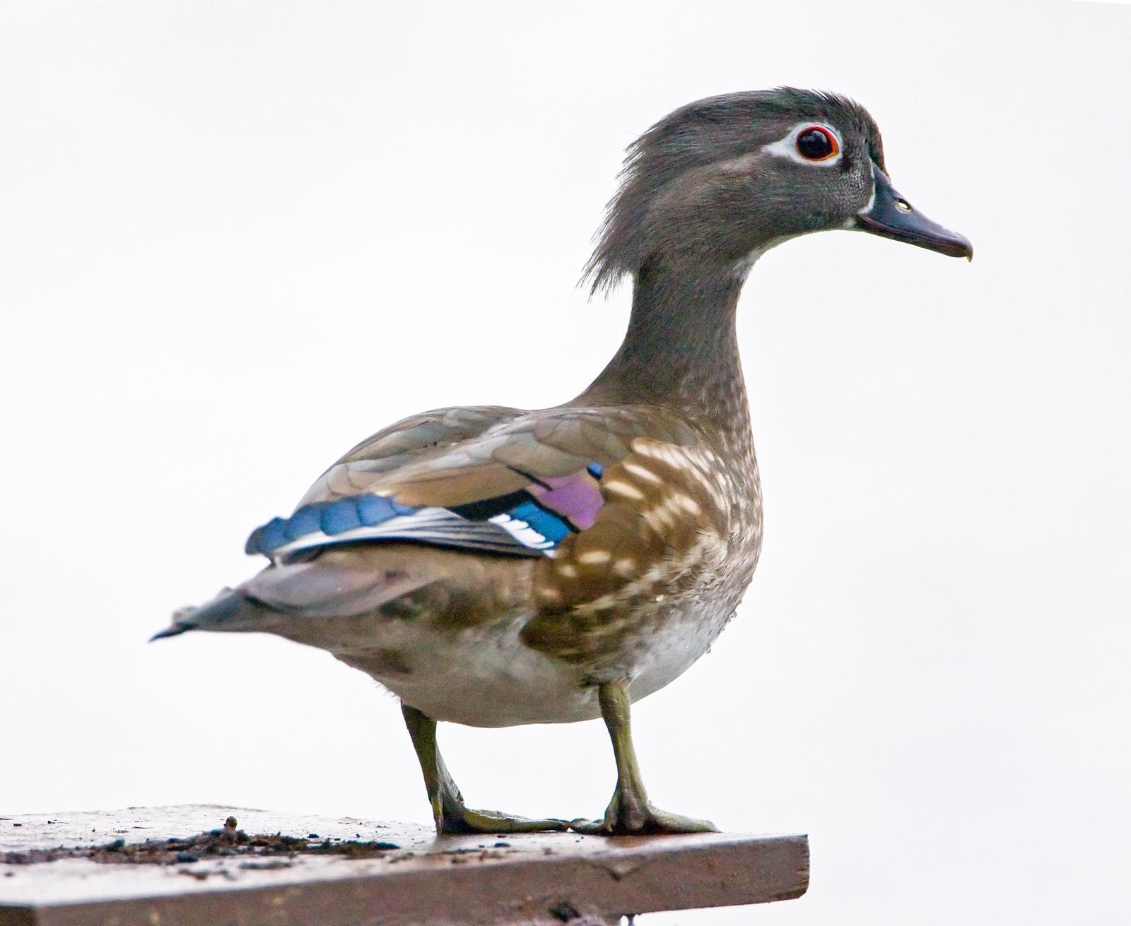 Wood Duck Photo by JC Knoll