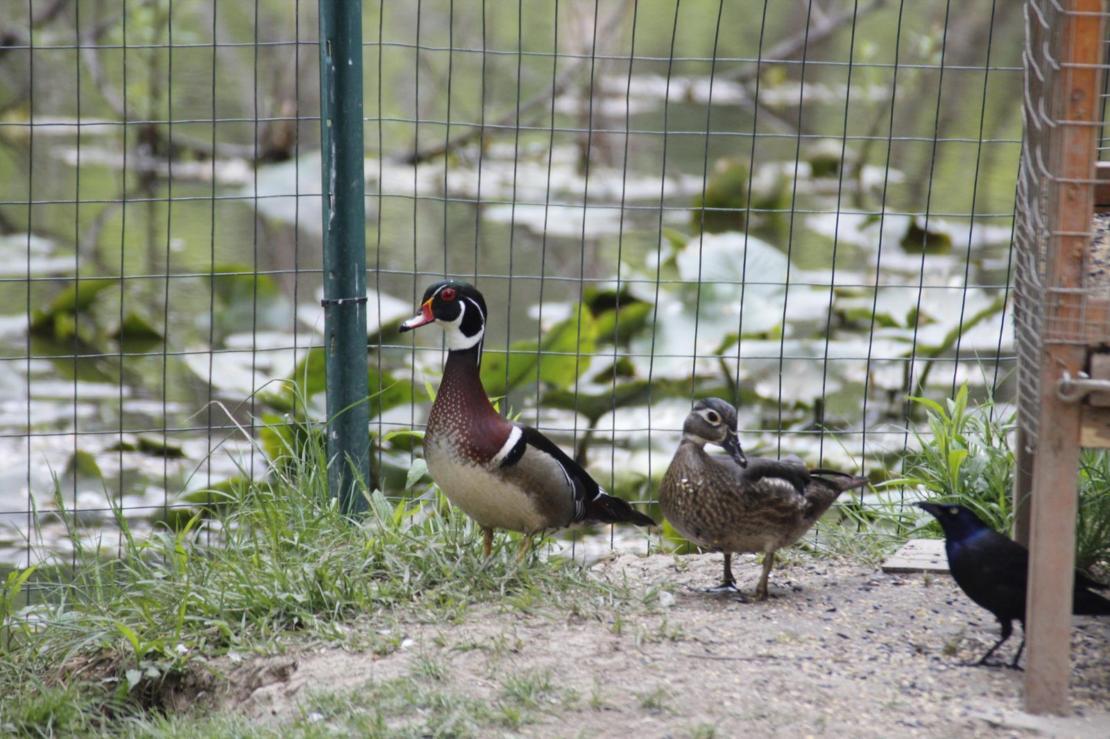 Wood Duck Photo by E Menzo