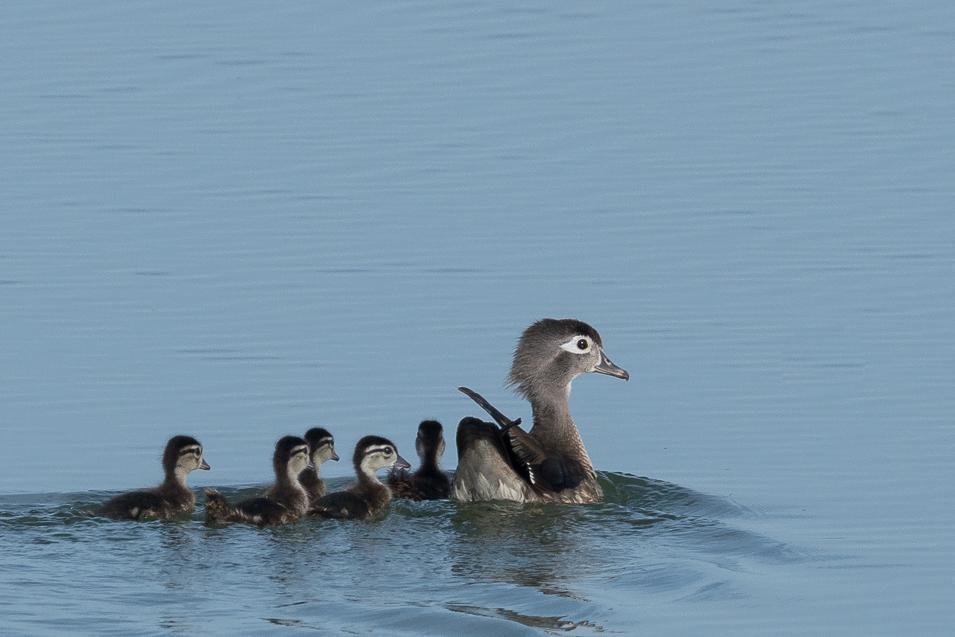 Wood Duck Photo by Gerald Hoekstra