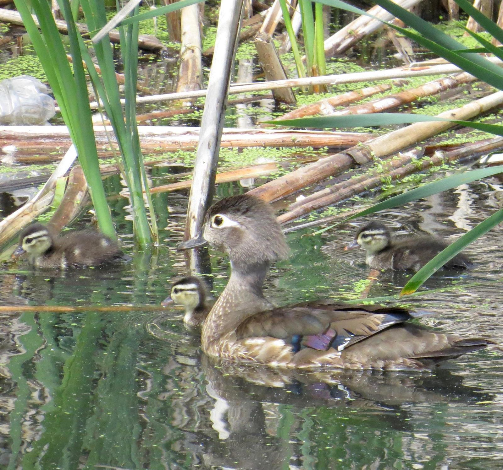 Wood Duck Photo by Don Glasco