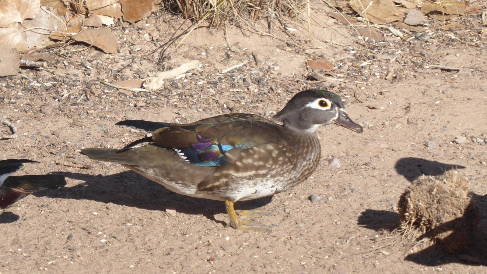 Wood Duck Photo by Daliel Leite