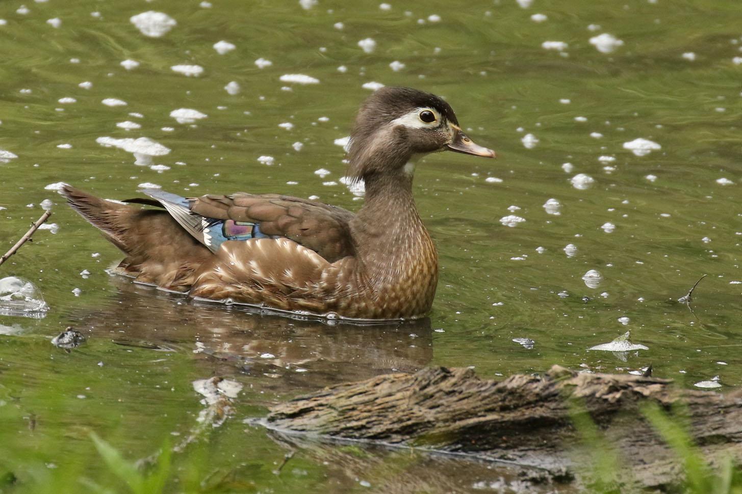 Wood Duck Photo by Kristy Baker