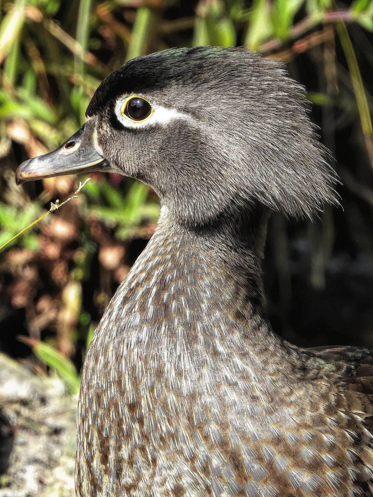 Wood Duck Photo by Dan Tallman