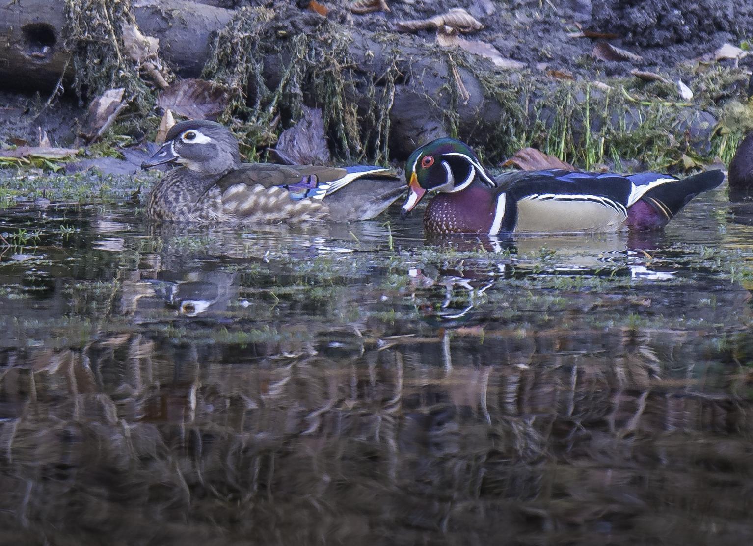 Wood Duck Photo by Mason Rose