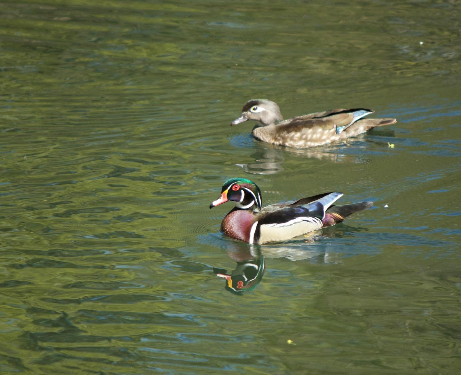 Wood Duck Photo by Mark Baldwin