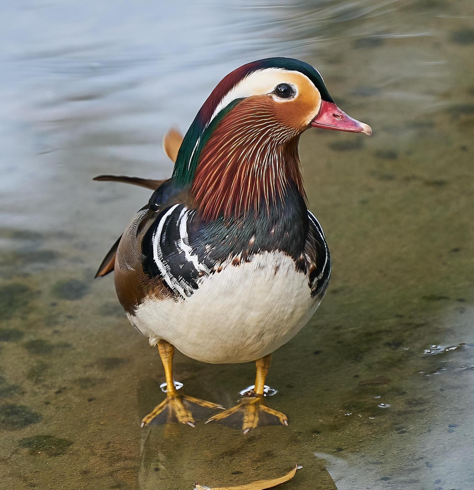 Mandarin Duck Photo by Steven Cheong