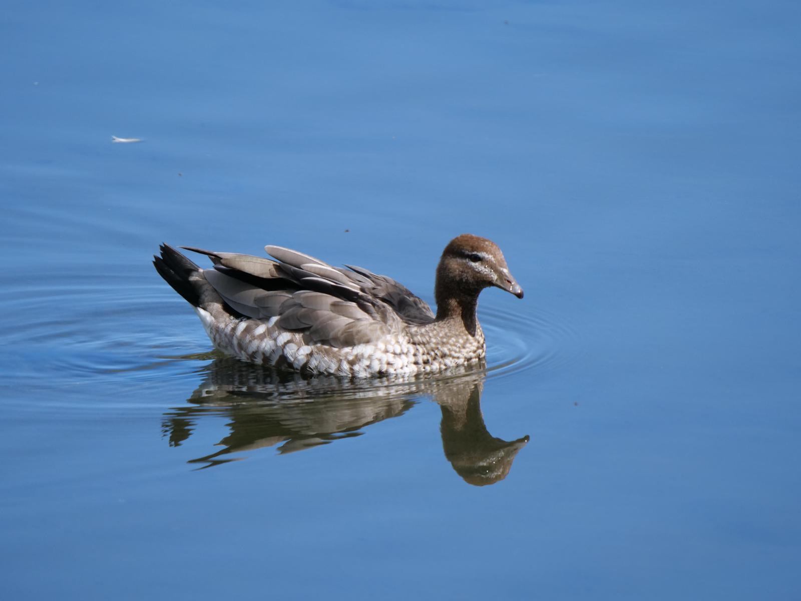 Maned Duck Photo by Peter Lowe