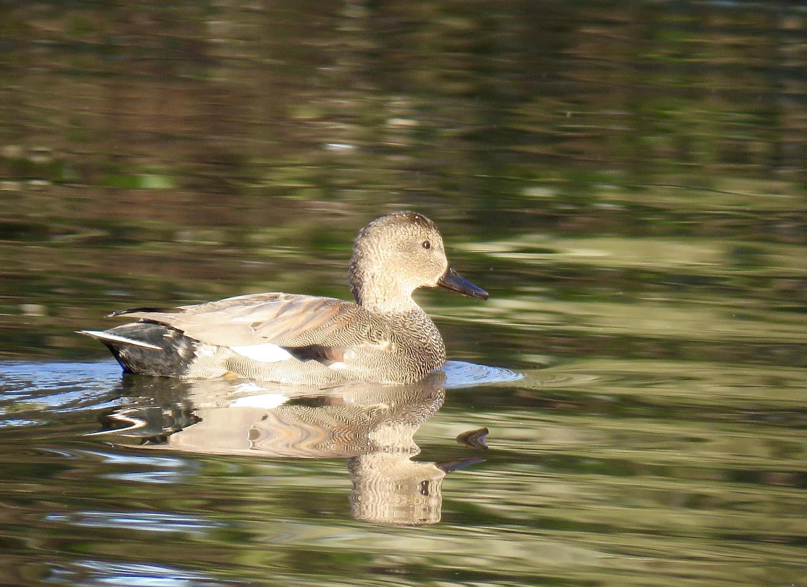 Gadwall Photo by Ted Goshulak