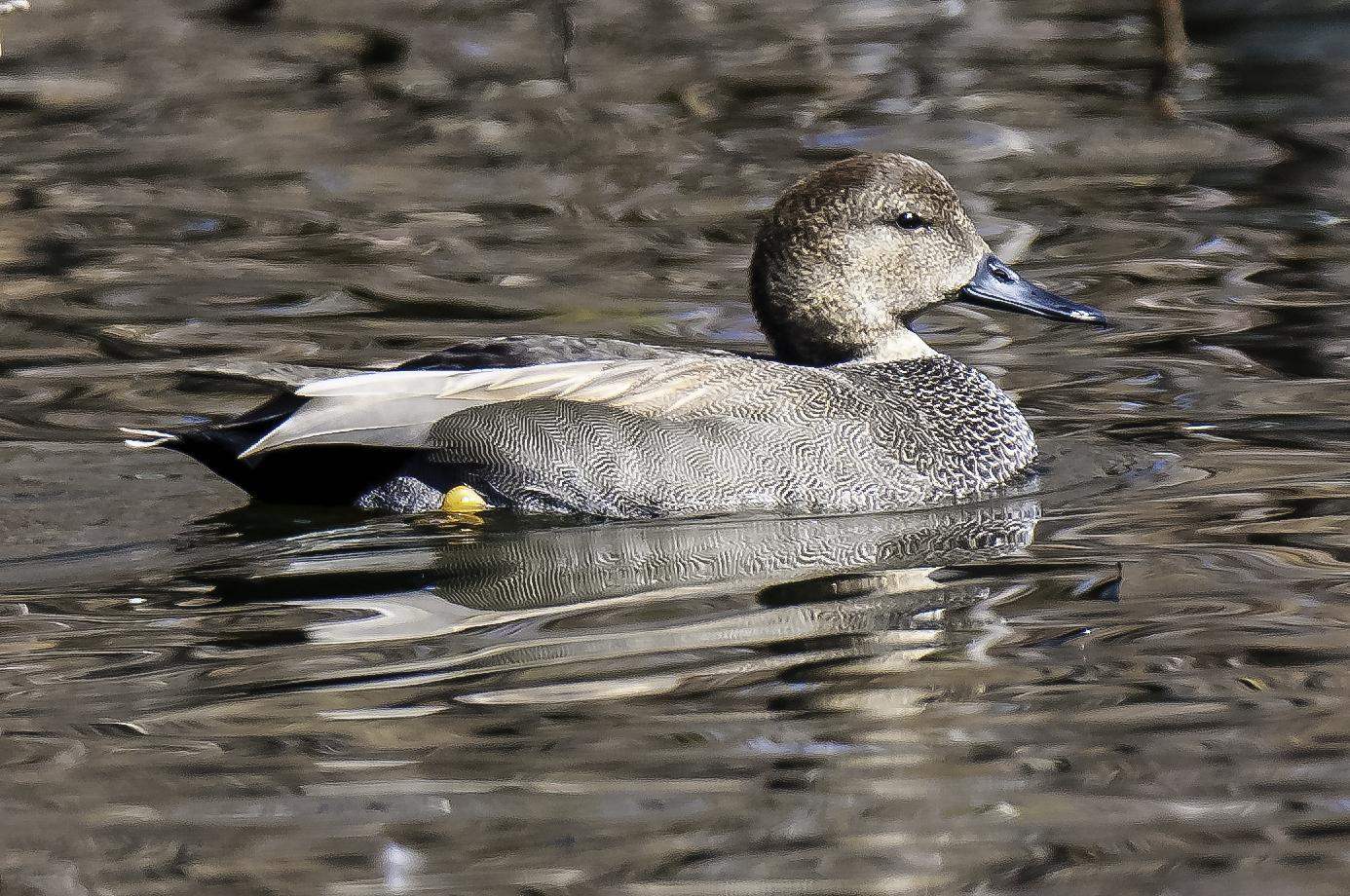 Gadwall Photo by Mason Rose