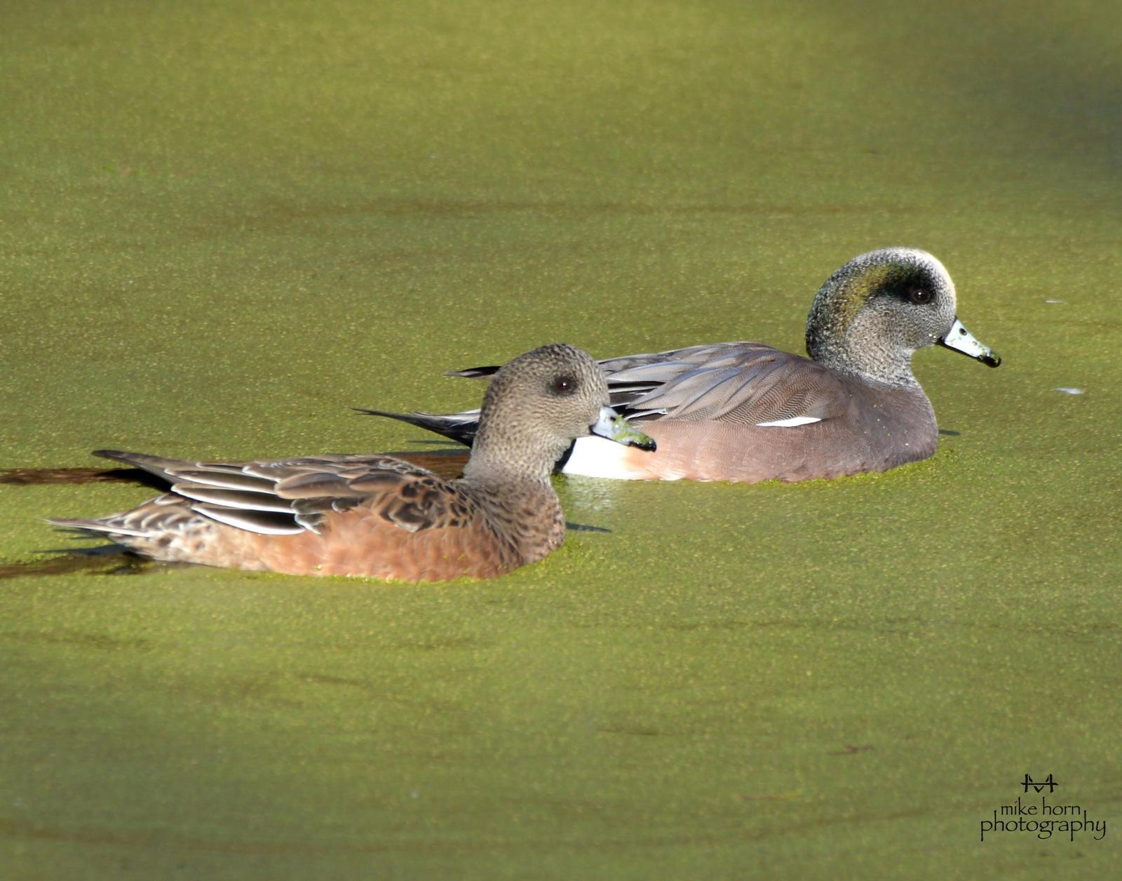 American Wigeon Photo by Michael Horn