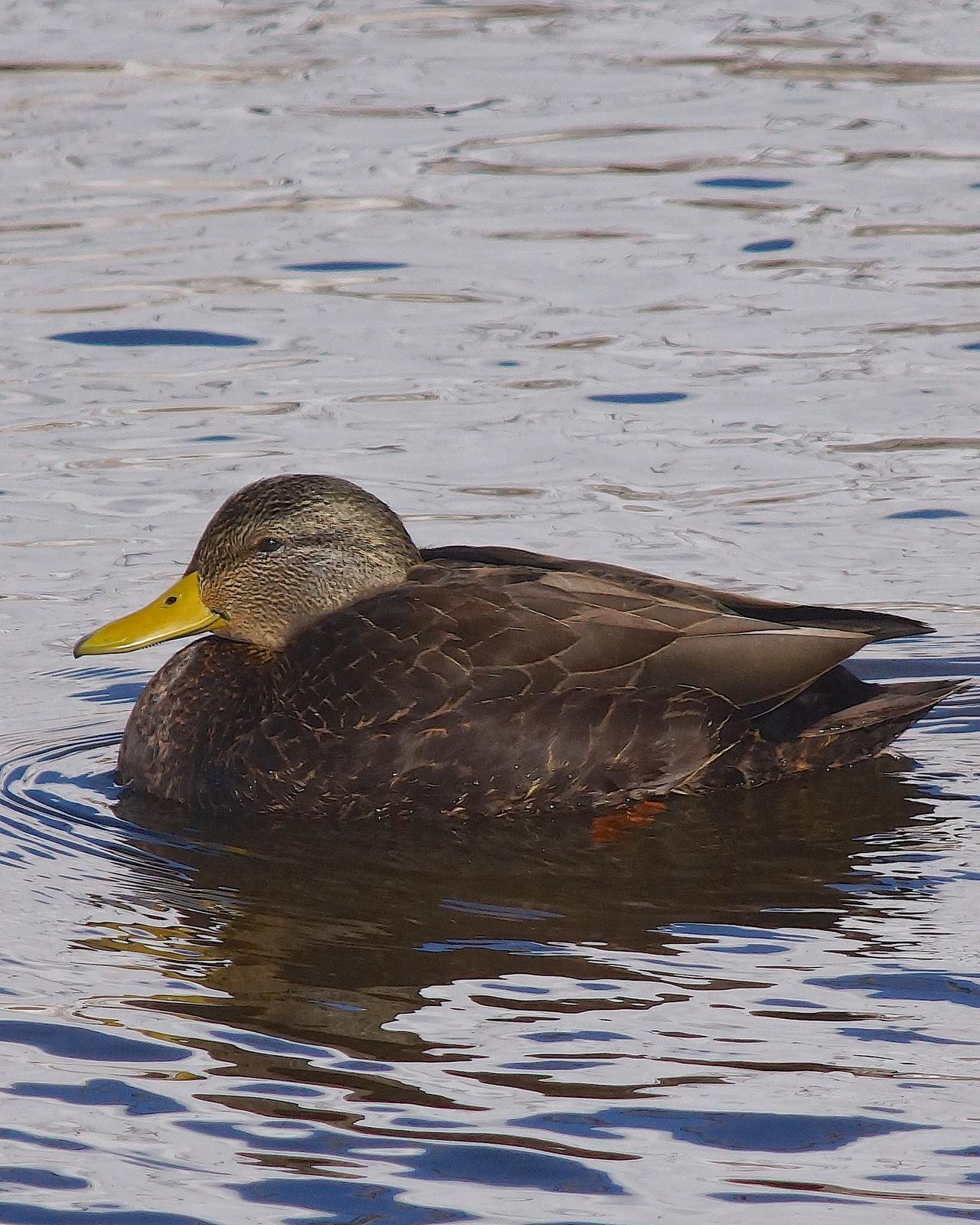 American Black Duck Photo by Gerald Hoekstra
