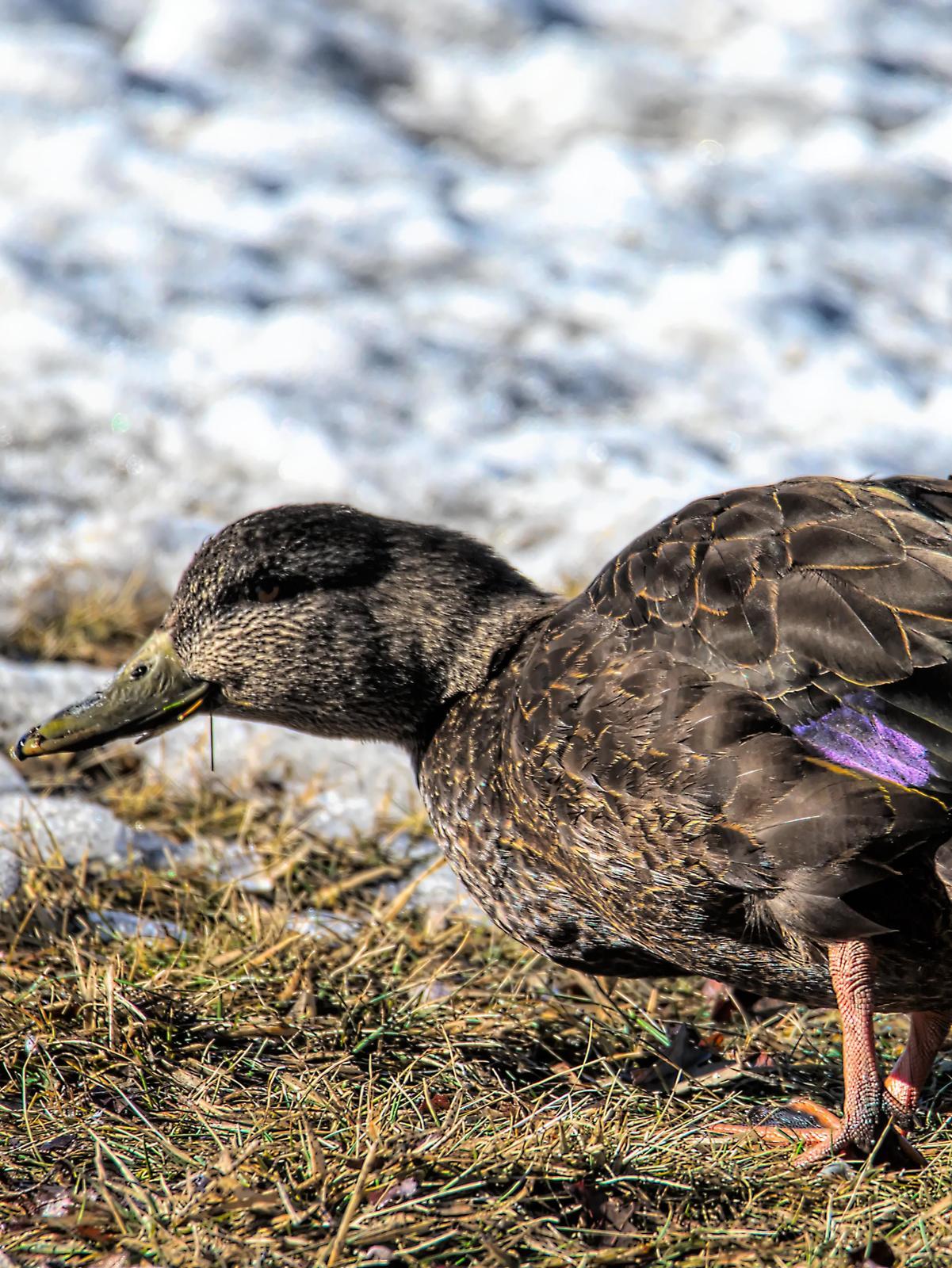 American Black Duck Photo by Dan Tallman
