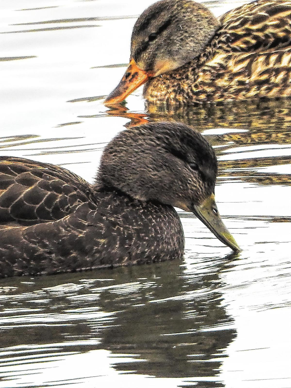 American Black Duck Photo by Dan Tallman