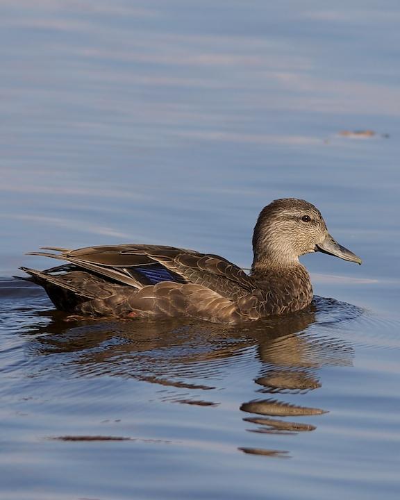 American Black Duck Photo by Denis Rivard