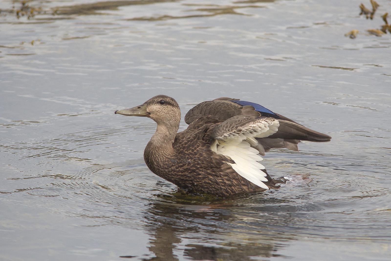 American Black Duck Photo by Marie-France Rivard