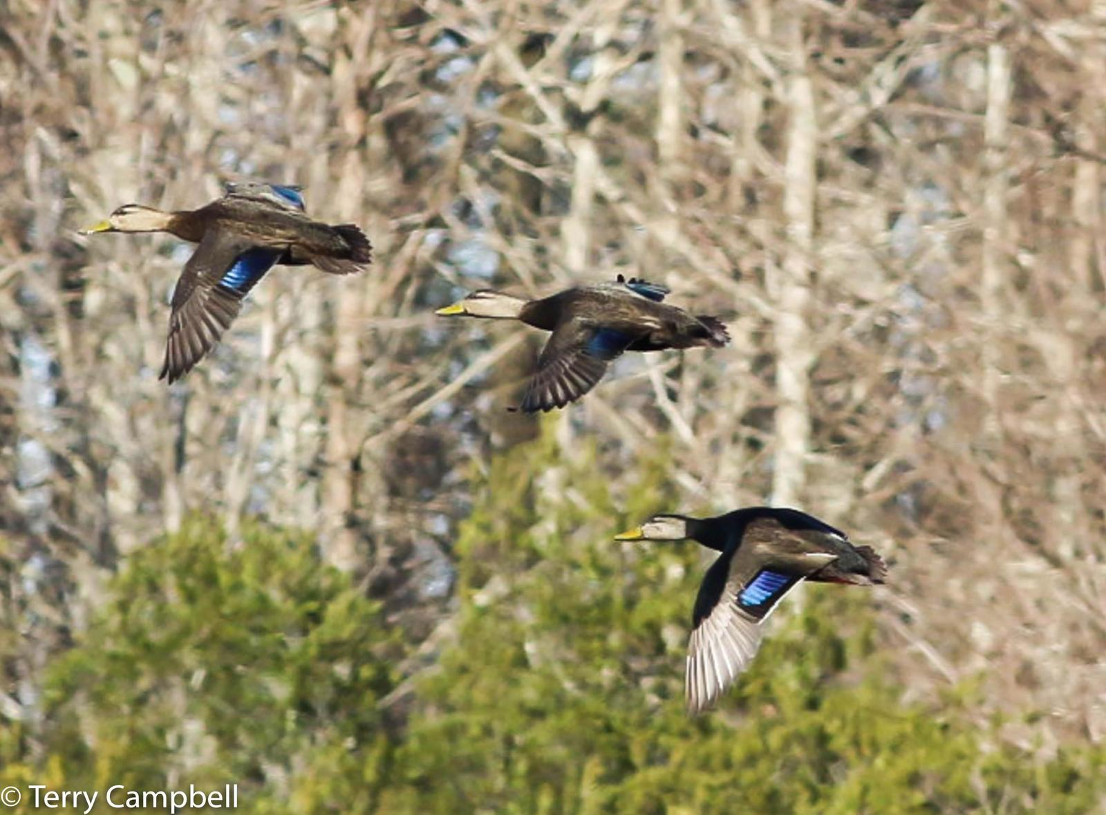 American Black Duck Photo by Terry Campbell