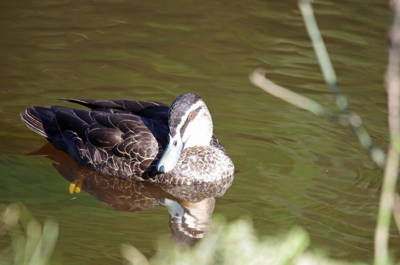 Pacific Black Duck Photo by Richard Lund
