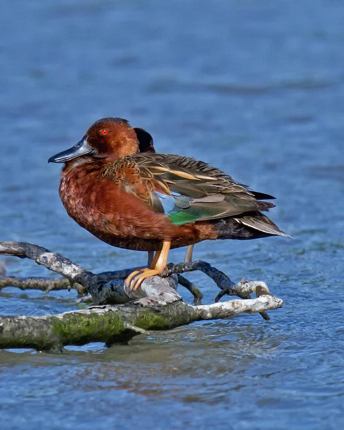 Cinnamon Teal Photo by JC Knoll