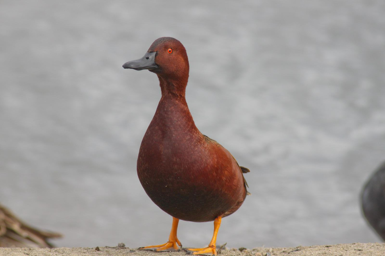 Cinnamon Teal Photo by Tom Ford-Hutchinson