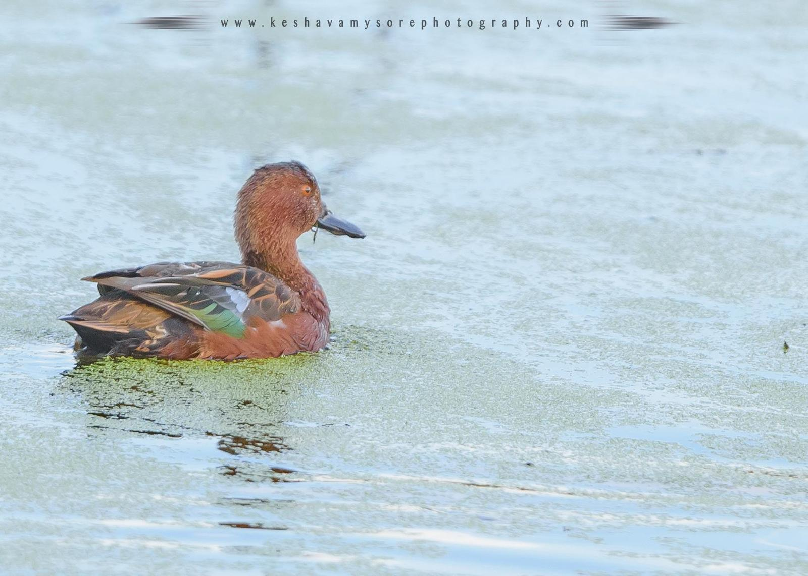 Cinnamon Teal Photo by Keshava Mysore