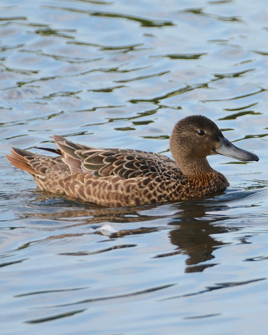 Cinnamon Teal Photo by Brian Avent