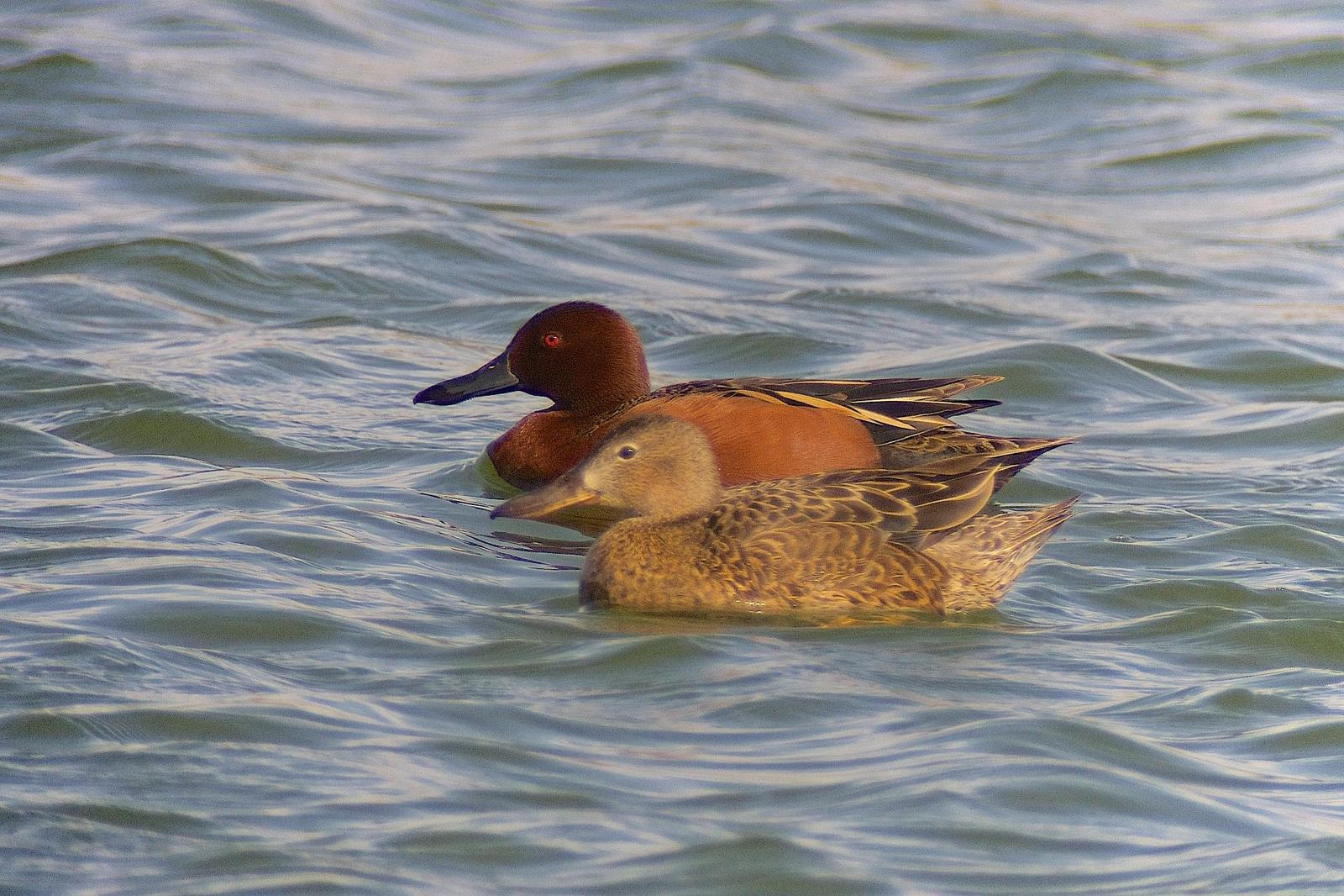 Cinnamon Teal Photo by Gerald Hoekstra