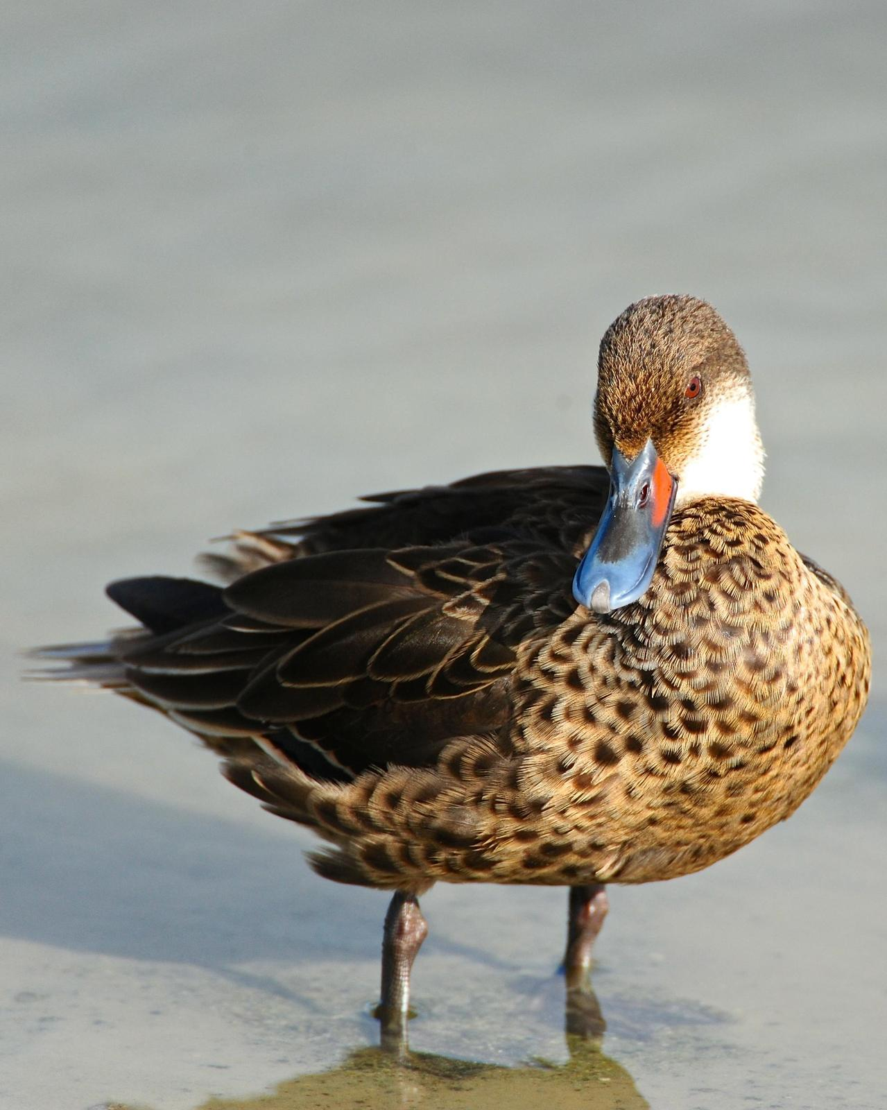 White-cheeked Pintail (Galapagos) Photo by Gerald Friesen