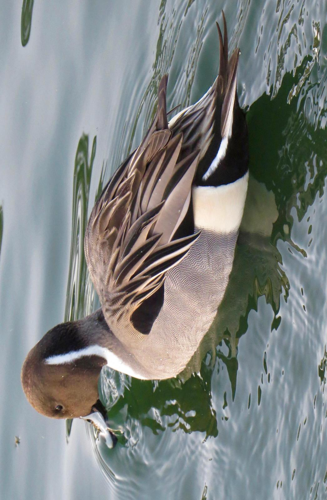 Northern Pintail Photo by Don Glasco