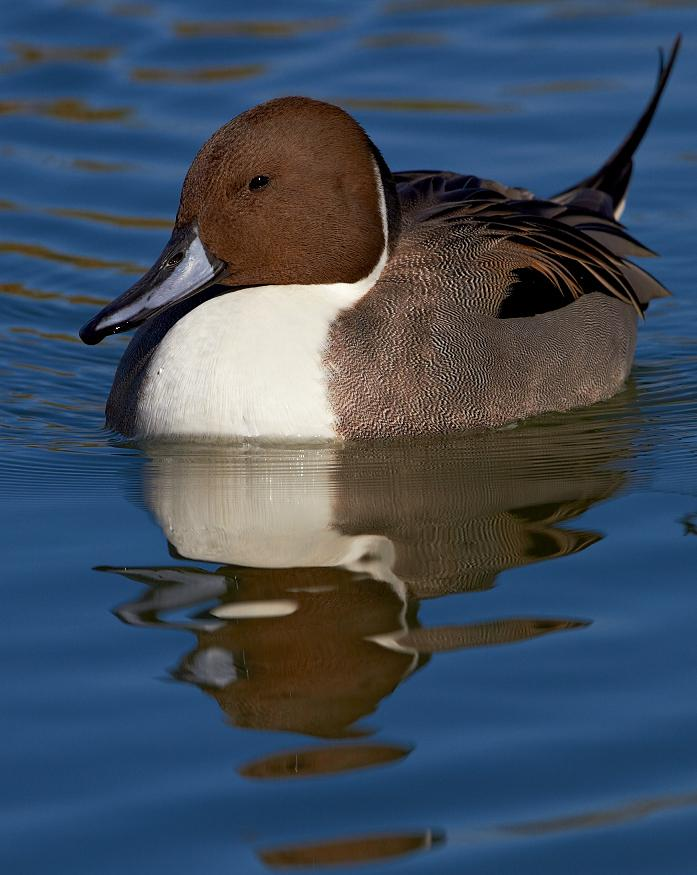 Northern Pintail Photo by Chris Fagyal