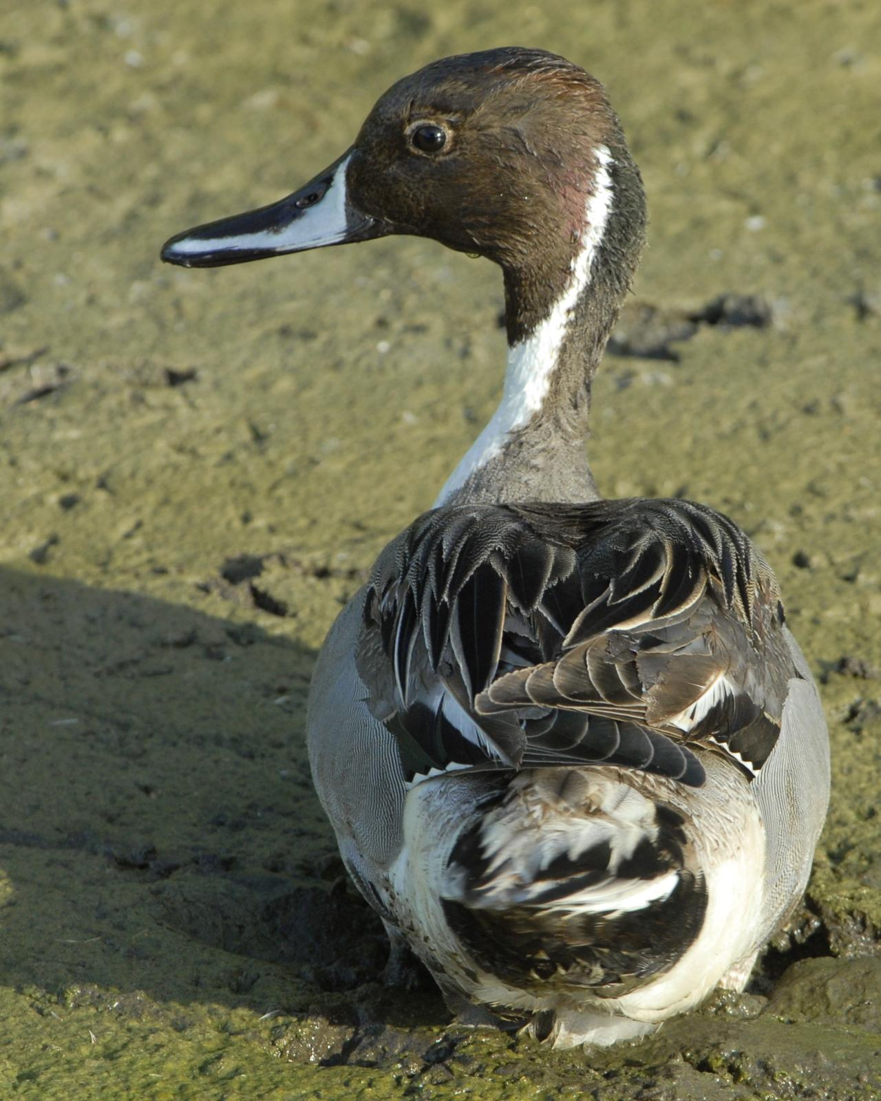 Northern Pintail Photo by David Hollie