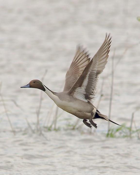 Northern Pintail Photo by Denis Rivard