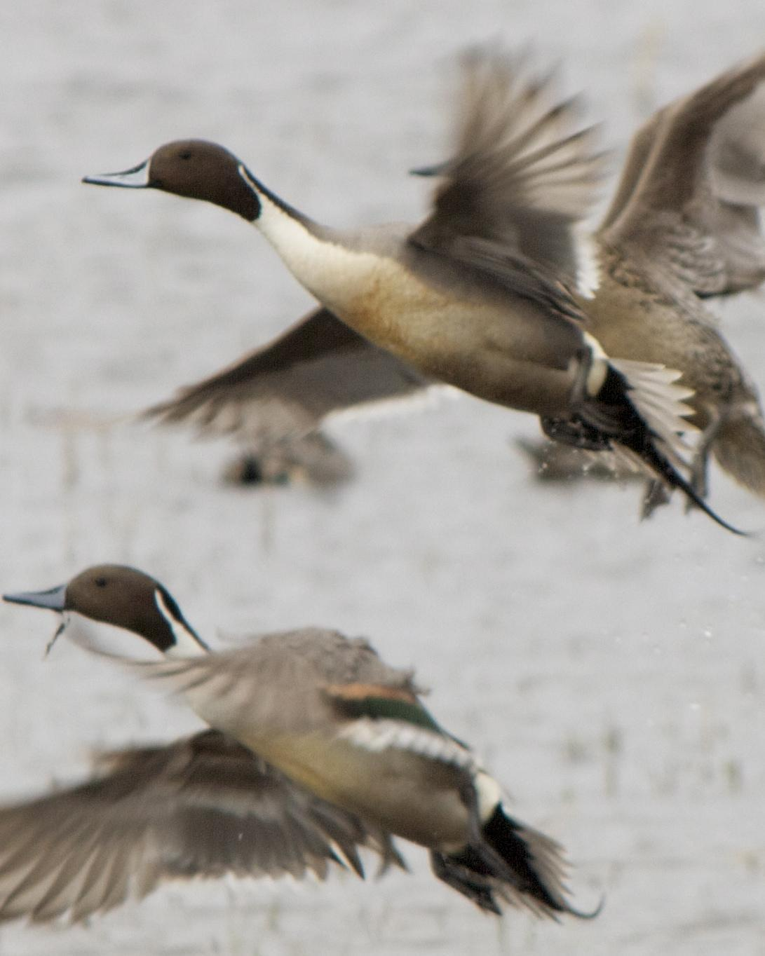 Northern Pintail Photo by Mark Baldwin