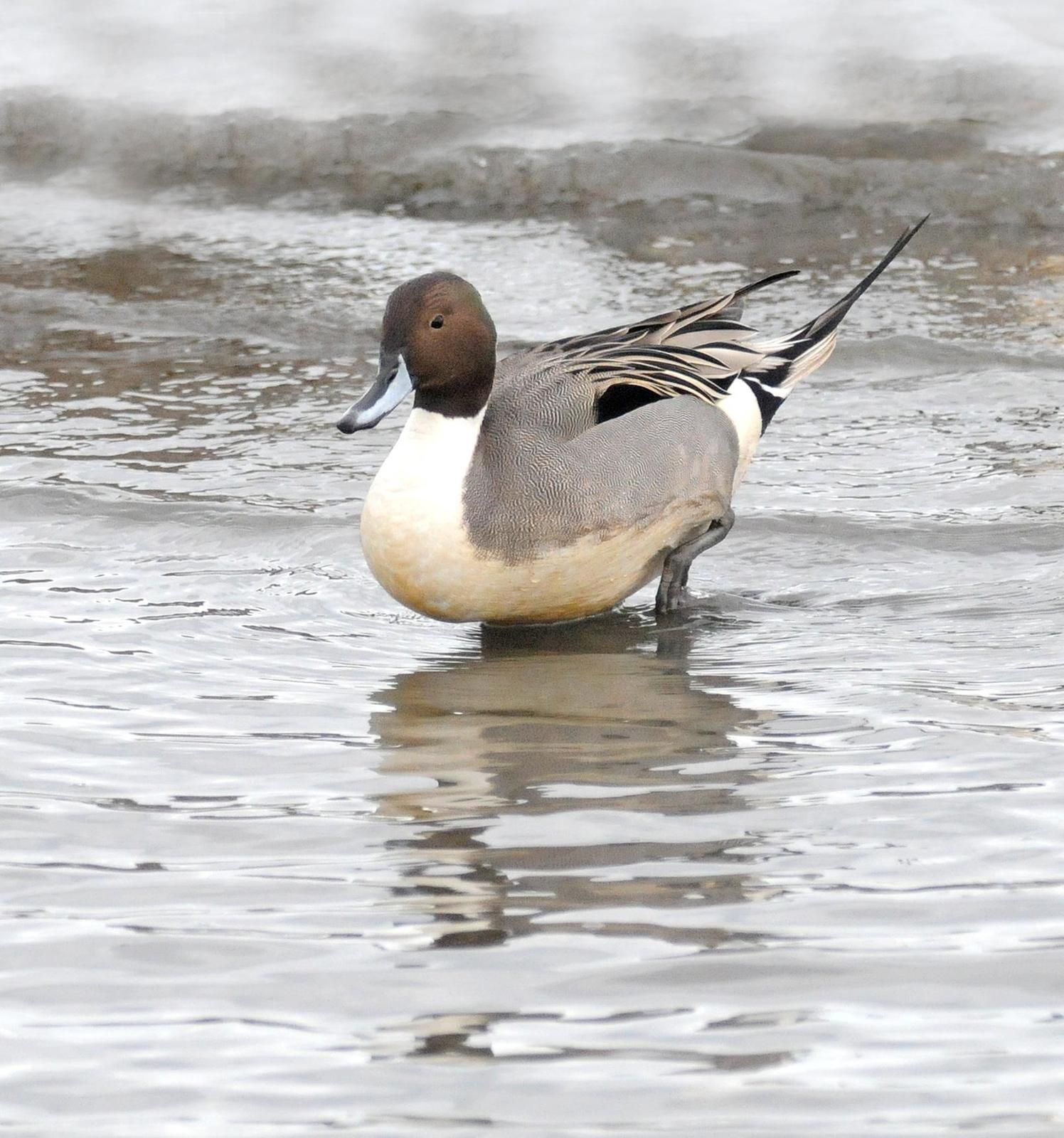 Northern Pintail Photo by Steven Mlodinow
