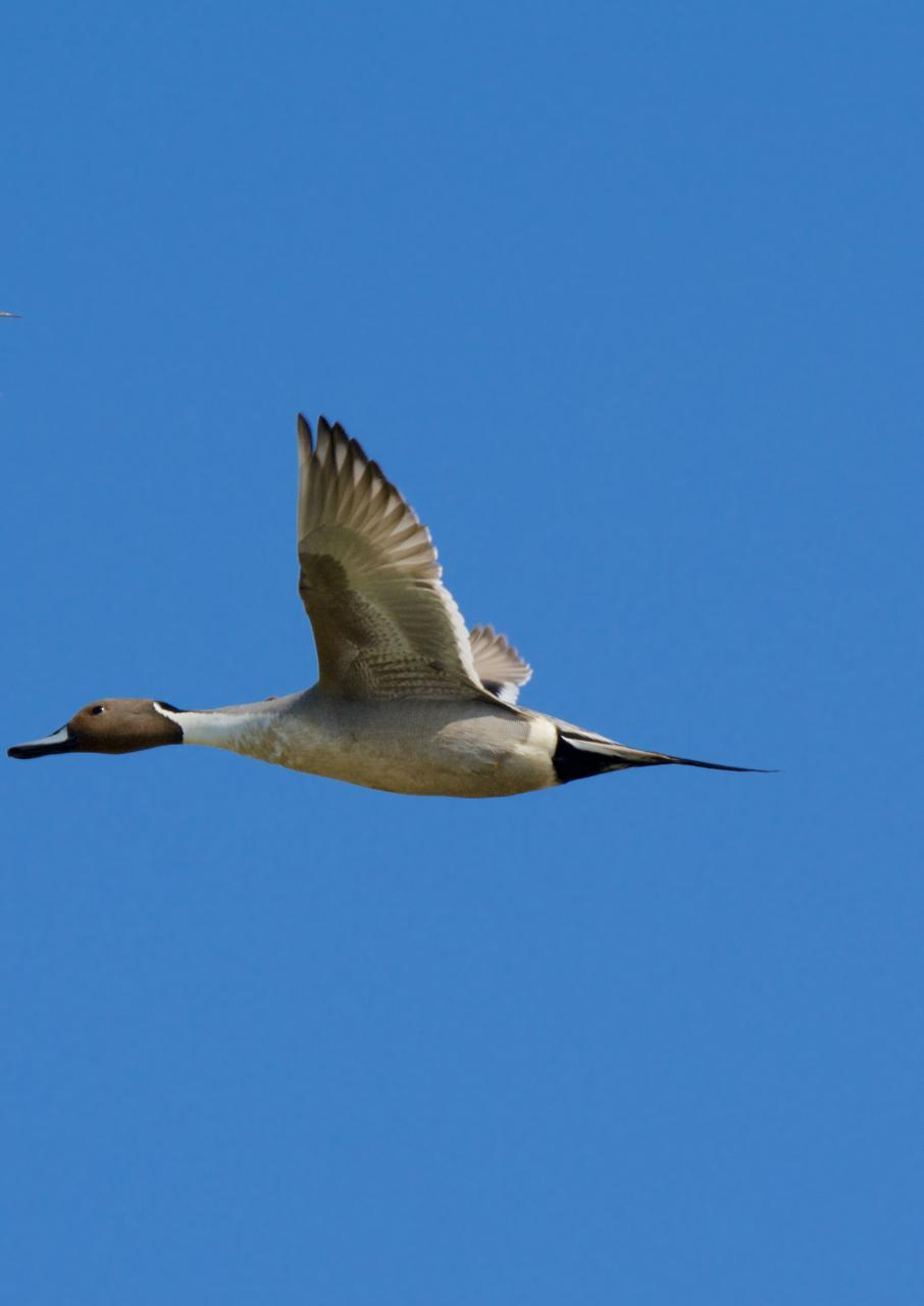 Northern Pintail Photo by Brian Avent