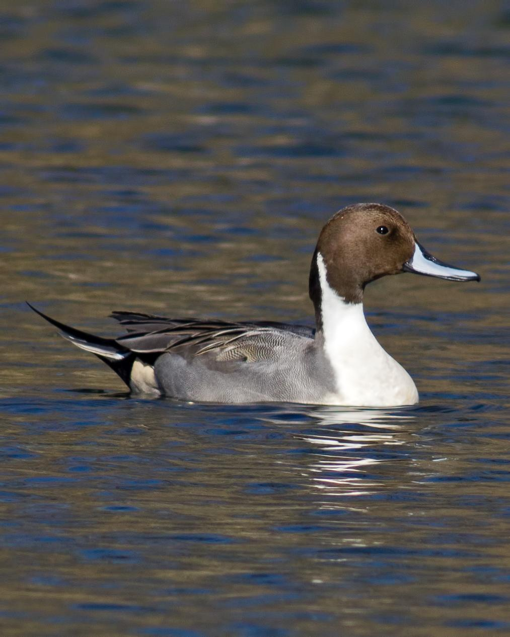 Northern Pintail Photo by Rob Dickerson