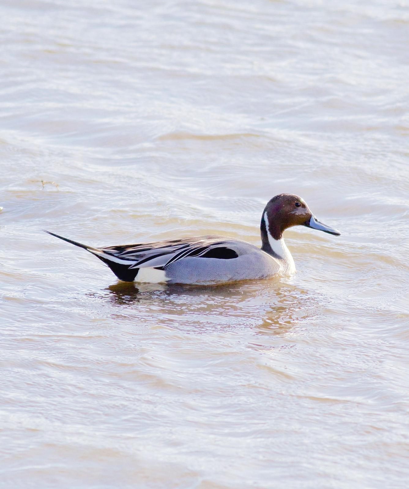 Northern Pintail Photo by Kathryn Keith