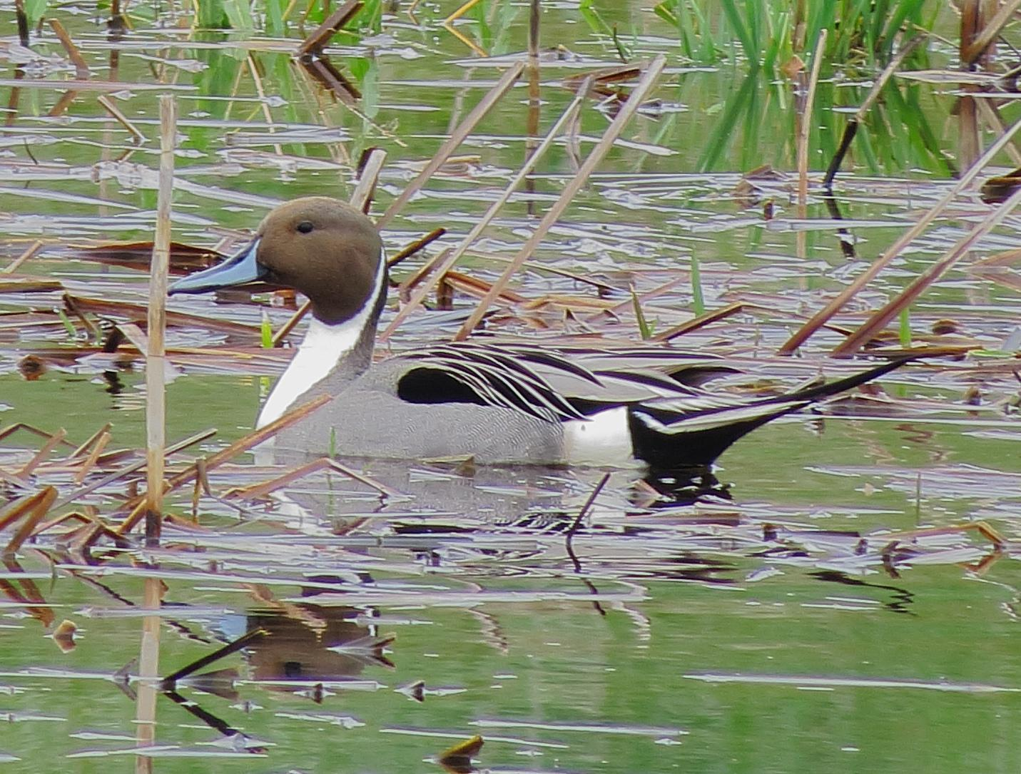 Northern Pintail Photo by Kent Jensen