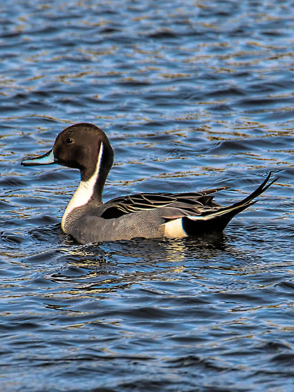 Northern Pintail Photo by Dan Tallman