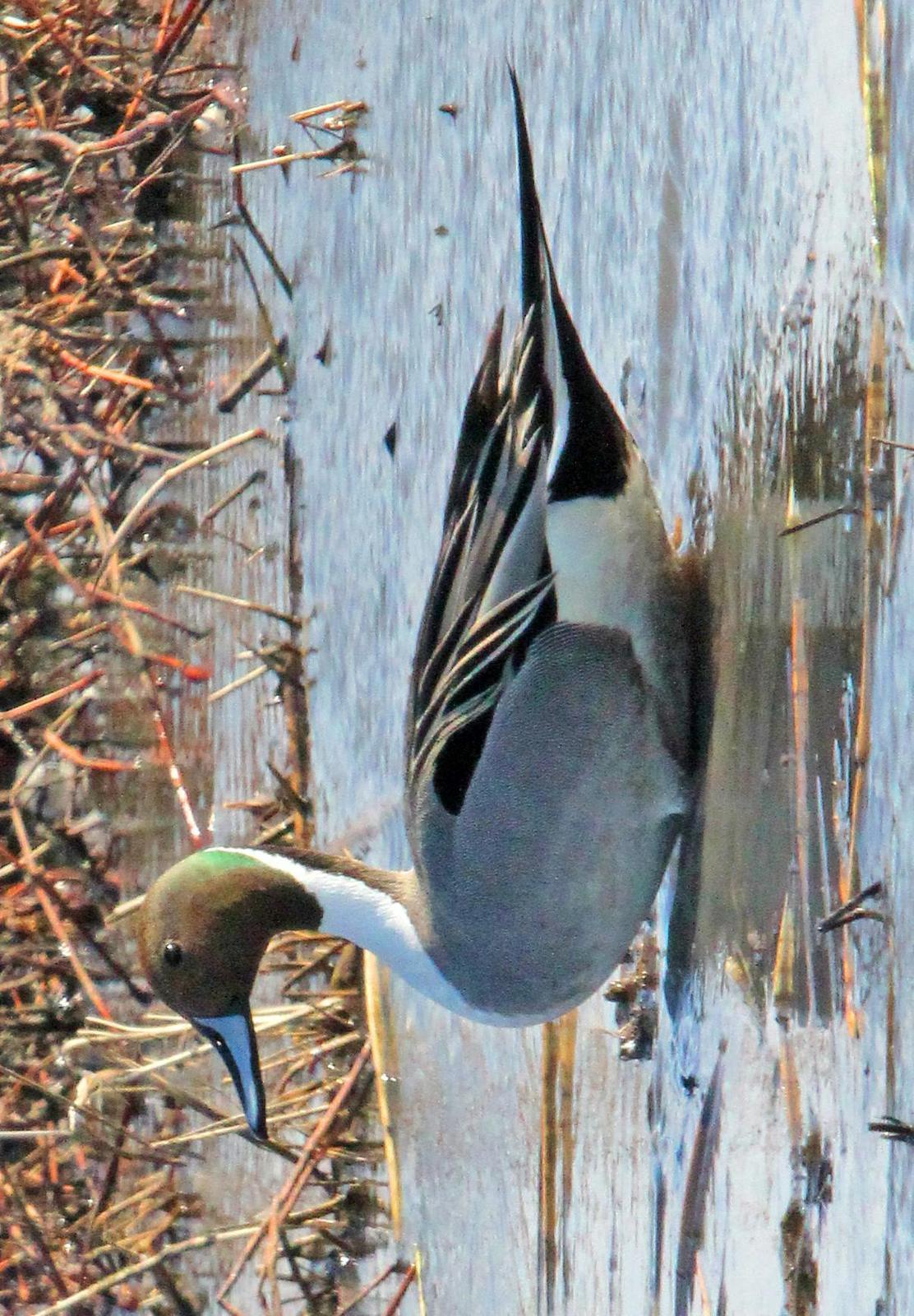 Northern Pintail Photo by Tom Gannon