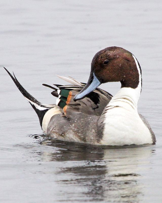 Northern Pintail Photo by Ashley Bradford